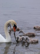 Swan and cygnets, Inishmore Ireland