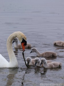 Swan and cygnets, Inishmore Ireland