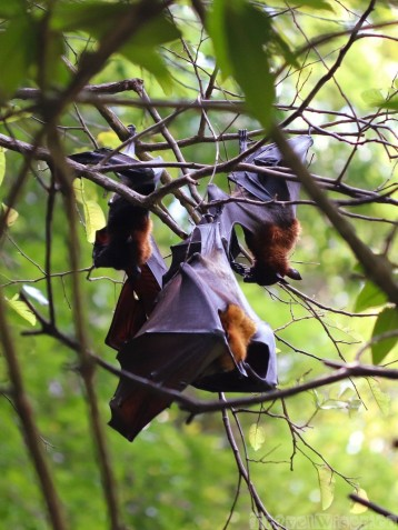 Fruit bats on Koh Roi, Phang Nga Bay Thailand