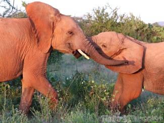 Two elephants playing around between wildflowers, Samburu Kenya