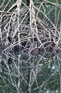 Tangled mangrove roots in Caroni swamp Trinidad