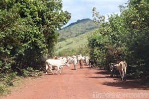 Cattle on the road to Annai, Guyana