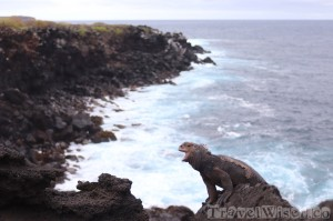 Marine iguana, La Loberia Isla San Cristobal
