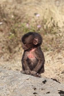 Ugly baby gelada monkey