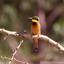 Bee-eater on a branch, Tigray Ethiopia