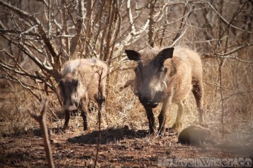 Warthogs in Hlane Royal National Park, Swaziland