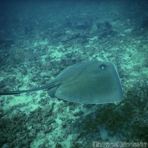 Sting ray, snorkelling at Castara beach Tobago