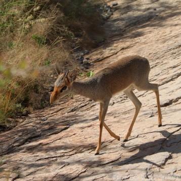 Gunther's dik-dik, Saruni Samburu