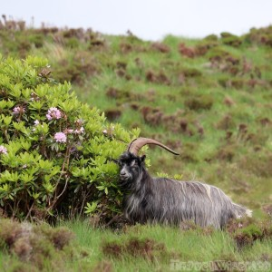 Feral goat, Connemara National Park