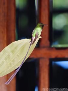 Long-tailed hummingbird, Ecuador highlands