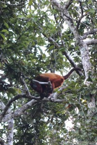 Red howler monkey, Guyana