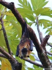 Seychelles flying fox fruit bat eating fruit