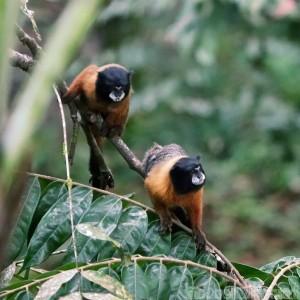 Golden-mantled tamarin monkeys, Yasuni National Park Ecuador