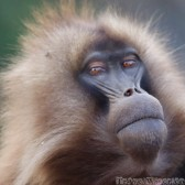 Gelada monkey close-up