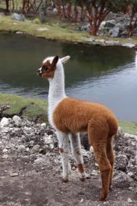 Baby llama, Cajas Ecuador
