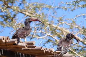 Two red-billed hornbills