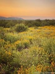 Wildflowers at sunrise, Sera Conservancy Kenya
