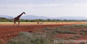 Wild animals on the airstrip of Samburu Kalama