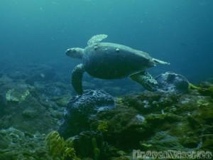 Green turtle at Sisters Rocks Tobago