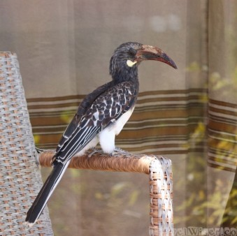 Red-billed hornbill on a chair at Korkor Lodge Tigray