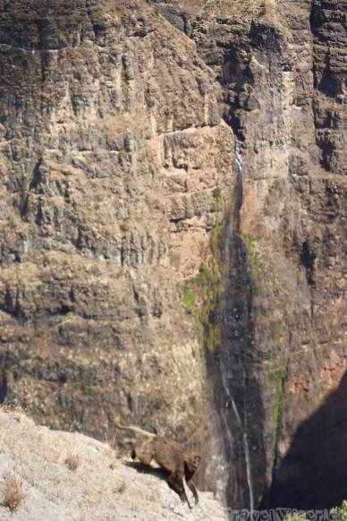 Gelada monkey at the Jinbar waterfall in the Simien Mountains