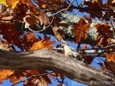Woodpecker, Maine