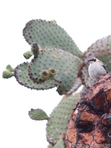 Galapagos mockingbird on an opuntia echios cactus tree
