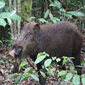 Wild boar in Tanjung Putting National Park Indonesia