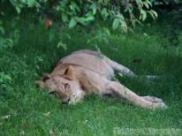 Sleeping lion, Mara North Conservancy Kenya