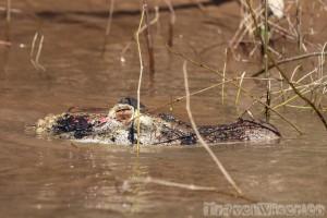 Black caiman lying in wait, Rupununi River Guyana
