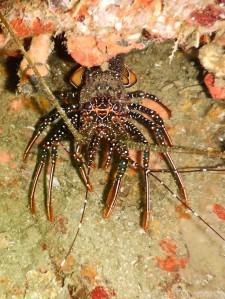 Lobster, Tobago diving